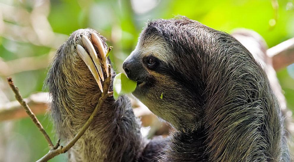 Three-toed-sloth-990x545